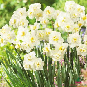 Narcissus (Daffodil) Cheerfulness
