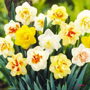 Narcissus (Daffodil) Double Mix