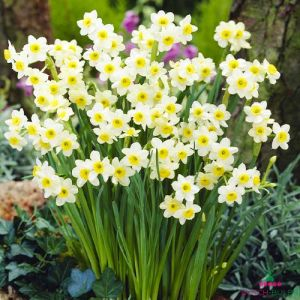 Narcissus (Daffodil)с Minnow