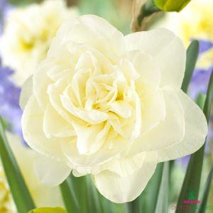 Narcissus (Daffodil) Obdam