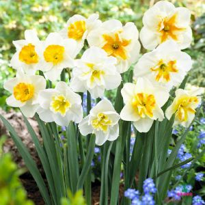 Narcissus (Daffodil) Papillon Mix