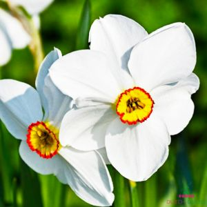 Narcissus (Daffodil) Pheasants Eye
