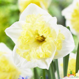 Narcissus (Daffodil) Printal