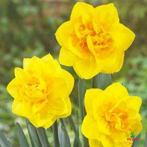 Narcissus (Daffodil) Sherborne