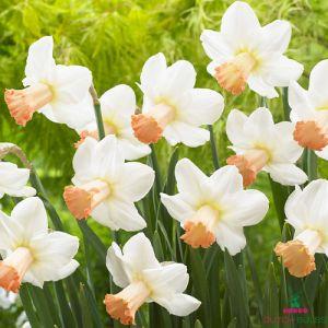 Narcissus (Daffodil) Skype