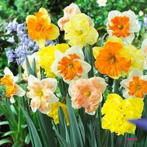 Narcissus (Daffodil) Split Corona Mix