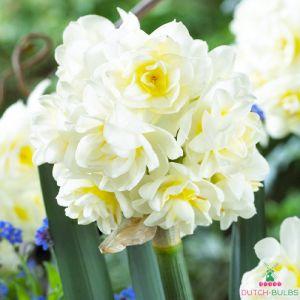 Narcissus (Daffodil) tazetta Erlicheer