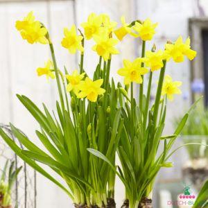 Narcissus (Daffodil) Tete a Tete