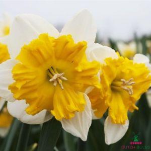 Narcissus (Daffodil) Gabriel Kleiberg