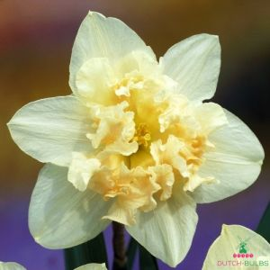 Narcissus (Daffodil) Palmares