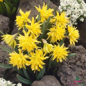 Narcissus (Daffodil) Rip Van Winkle