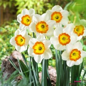 Narcissus (Daffodil) Roulette