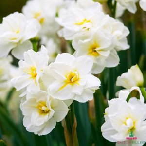 Narcissus (Daffodil) Sir Winston Churchill