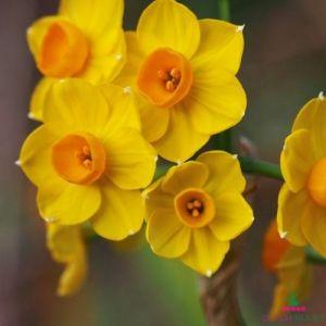 Narcissus (Daffodil) tazetta Grand Soleil dOr