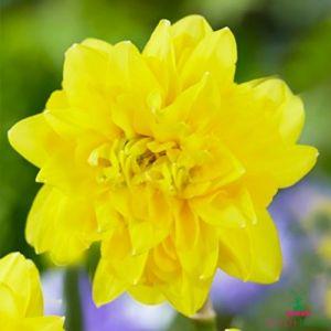 Narcissus (Daffodil) Tete de Luxe