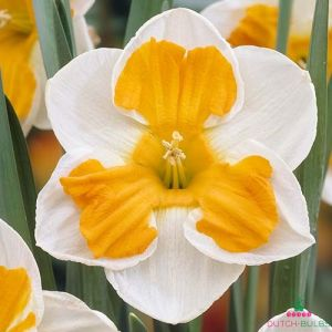 Narcissus (Daffodil) Tricollet