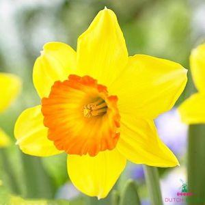Narcissus (Daffodil)с Love day