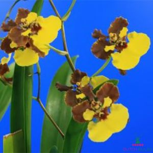 Oncidium (Orchid) Rainer
