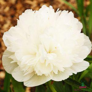 Peony Alba Plena (Herbaceous)