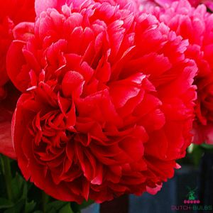 Peony Command Performance (Herbaceous)
