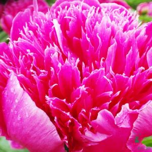 Peony Purple Spider (Herbaceous)