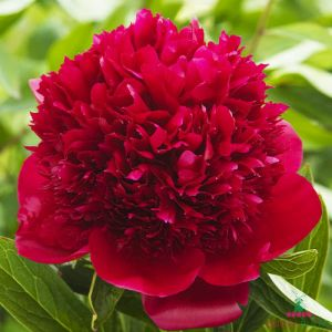 Peony Red Charm (Herbaceous)
