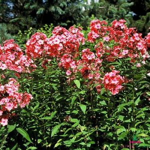 Phlox (paniculata) Windsor