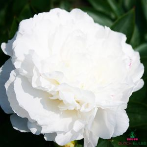 Peony Mothers Choice (Herbaceous)