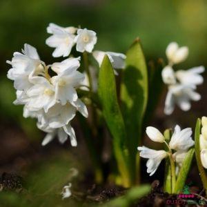Puschkinia libanotica Alba