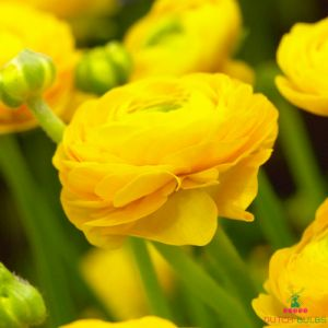Ranunculus Aviv Yellow