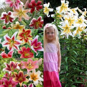 Lilium OT (Giant/Tree) Mix