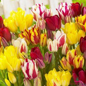 Tulip Club Mix