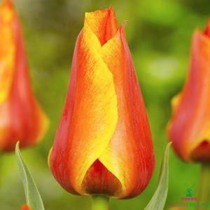 Tulip Compostella