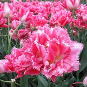 Tulip Crispion Sweet