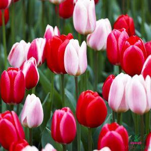 Tulip Darwin Delight Mix Sensation