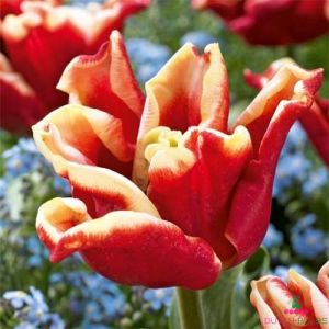 Tulip Elegant Crown