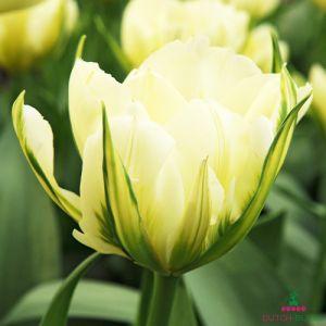 Tulip Exotic Emperor