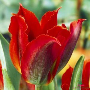 Tulip Eye Catcher
