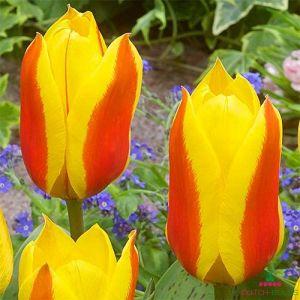 Tulip First Love