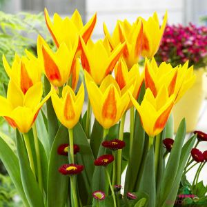 Tulip Giuseppe Verdi
