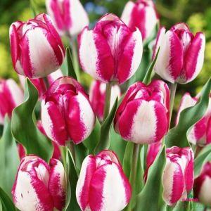 Tulip Hotpants