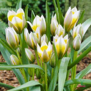 Tulip Little Star