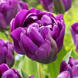 Tulip Negrita Double