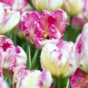 Tulip Silver Parrot