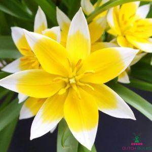 Tulip Tarda (Dasystemon)