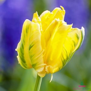 Tulip Texas Gold