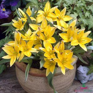 Tulip Urumiensis