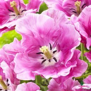 Tulip Victorias Pink Secret