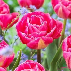 Tulip Vogue