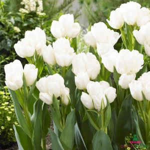 Tulip Weisse Berliner